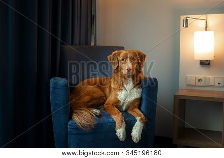 Dog On A Blue Couch In The Interior Of A Hotel Or Home. Nova Scotia Duck Tolling Retriever Indoor