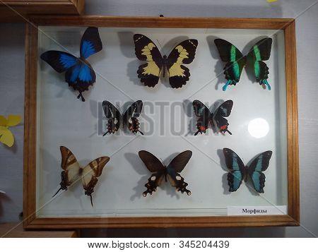 Petrozavodsk, Russia - July 01, 2019 Translated Caption: Morphids. Dried Amazonian Butterflies Impal