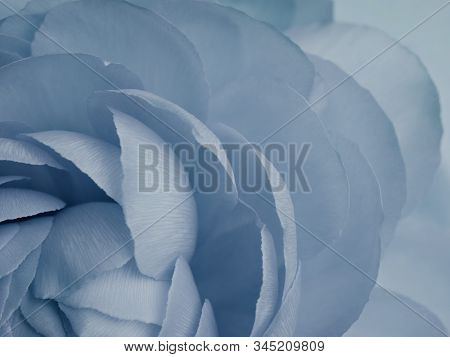 Detail Of Blue Toned Ranunculus With Many Delicate Petals. Abstract Background In Trendy Denim Blue