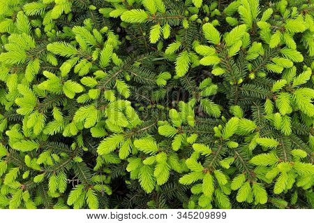 Conifer Leaves Background. Branches Of Spruce With Lush Green Leaves. Conifer Leaves Fill The Frame