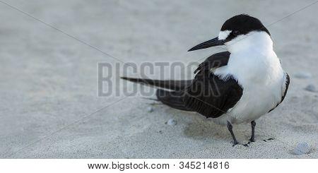Sooty Tern Bird, Onychoprion Fuscatus Seabird On The Beach, Lord Howe Island, New South Wales, Austr