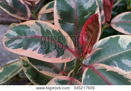 White, Green And Red Color Of Rubber Plant Ruby