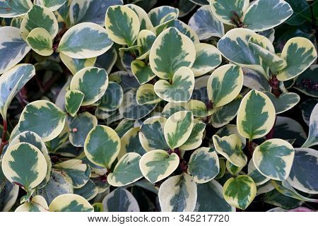 White And Green Leaves Of Oval-leaf Peperomia Variegata