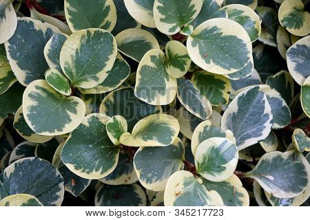 White And Green Leaves Of Oval-leaf Peperomia Variegata, A Tropical Plant