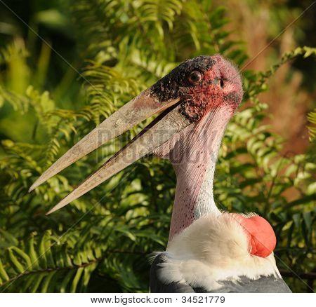 Marabou Stork Head Closeup