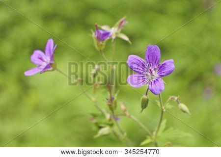 Flowers Of Forest Geranium (geranium Sylvaticum L.) - A Medicinal Plant. Blurred Background And Sele