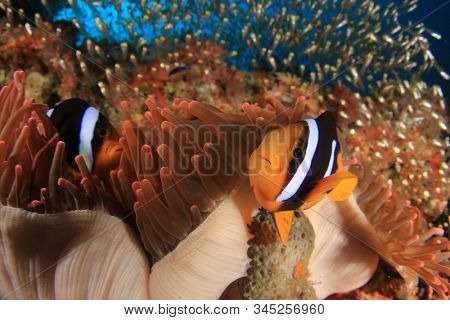 Clark's Anemonefish. Clownfish fish in anemone on coral reef