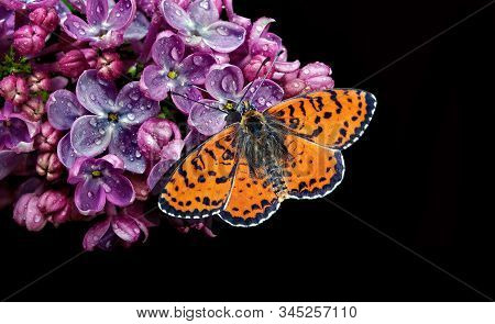 Beautiful Red Butterfly On A Flower On A Black Background. Lilac Flower In Water Drops Isolated On B