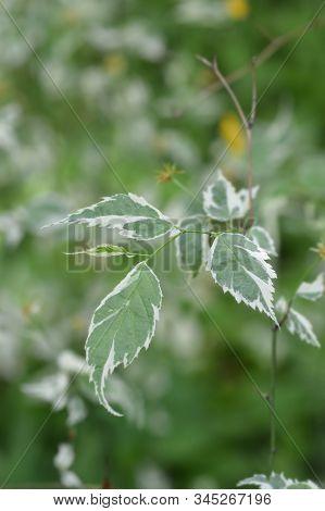 Variegated Japanese Rose Leaves - Latin Name - Kerria Japonica Variegata
