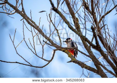 Downy Woodpecker Perched On A Tree Branch Against Blue Sky, Czech Republic Wildlife, Europe