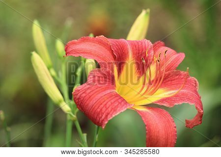 Day Lily(hemerocallis Fulva,orange Day Lily) Flower And Buds,close-up Of Red With Yellow Day Lily Fl
