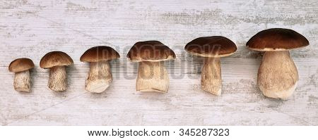 Different Size Of Boletus Edulis On Wooden Table In A Row, Delicious Gourmet Porcini Mushrooms, Topv