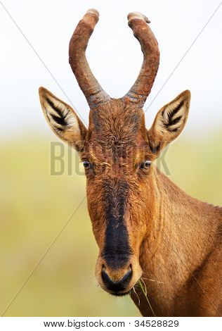 Red hartebeest portrait - Alcelaphus caama -  Addo National Park - South Africa