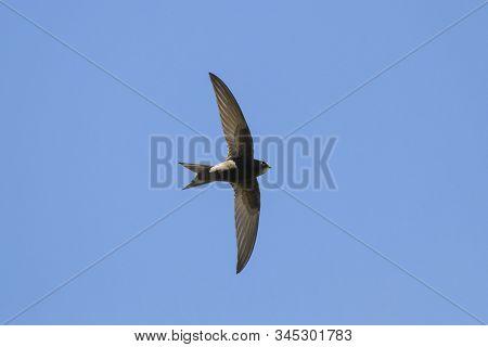Common Swift Flying In Blue Sky. Cute Black Rapid Bird In Wildlife.