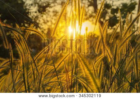 Wild Meadow Golden Flowers On Sunlight Background.  Silvergrass, Is A Species Of Flowering Plant In