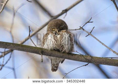 Eurasian Pygmy Owl, Tiny And Very Cute Nocturnal Predator Bird, Sitting On Branch Close-up Whith Blu