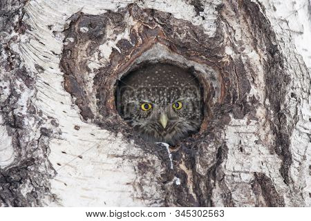 Eurasian pygmy owl, tiny and very cute nocturnal predator bird, looking from hollow in birch tree. Bird in wildlife. poster