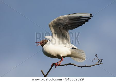Black-headed Gull Sitting On Branch Trying To Get Equilibrium Under Wind With Open Wings And Shoutin