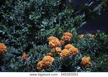 Bunch Of Orange Roses On A Garden.