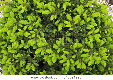 Background Of New Green Spiny Leaves. Conifer Leaves Background. Green Plant Backdrop. Green Leaves