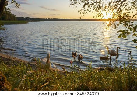 Family Of Swans At Sunset, Swans With Baby Swans In The Evening On The Lake
