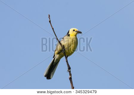 Citrine Wagtail Male Sitting On Stick With Grasshopper In Beak. Bright Yellow Songbird. Front View W