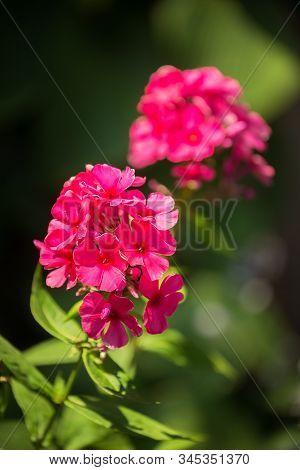 Blooming Phlox (phlox Paniculata, Fall Phlox, Garden Phlox, Perennial Phlox Or Summer Phlox). Bright