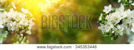 Banner 3:1. Cherry Blossom In Full Bloom With Sun Lights Against Defocused Background. Spring Backgr