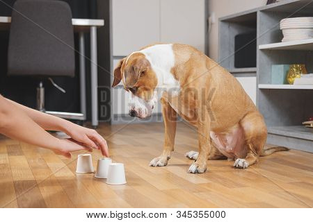 Cute Dog Playing The Shell Game With Her Human. Concept Of Training Pets, Domestic Dogs Being Smart