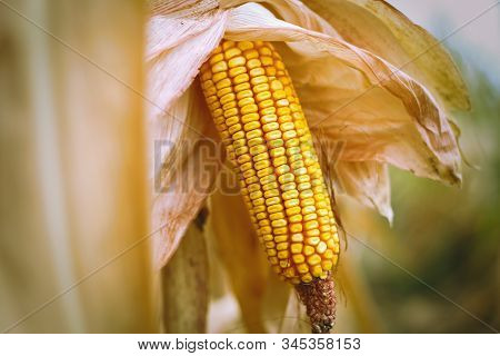 Close Up Of Peeled Corncob (ear Of Corn)  On The Field. Autumn Harvest Concept. Maize Field Landscap