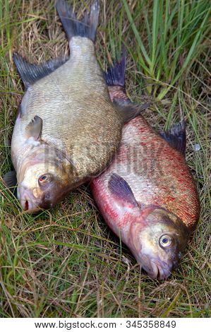 Two Big Freshwater Common Bream Fish On Natural Background..