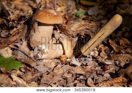 Two Boletus Mushroom In The Wild. Porcini Mushroom (boletus Aereus) Grows On The Forest Floor At Aut