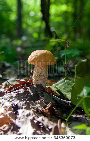 Single Red Boletus Mushroom In The Wild. Red Boletus Mushroom Grows On The Forest Floor At Autumn Se