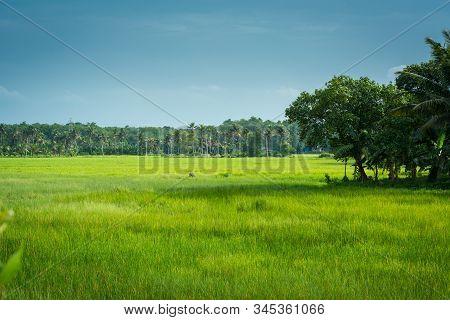 Kerala, India-july 10, 2019: Landscape View Of Paddy In Kerala