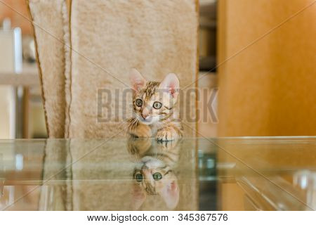 A Curious Bengali Kitten Sniffs A Cup On The Dining Table.
