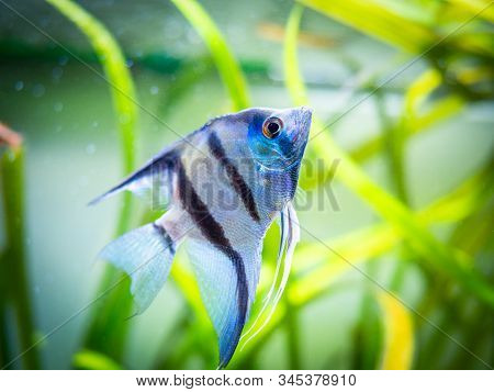 Zebra Angelfish In Tank Fish (pterophyllum Scalare)