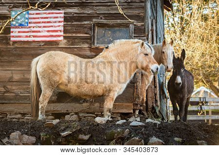 Couple Of Horses At The Farm In Front Of Usa Flag