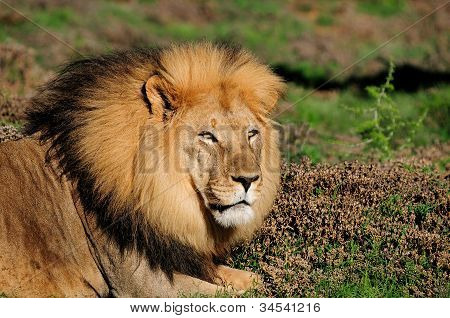 A Male Kalahari Lion, Panthera Leo, In The Addo Elephant National Park