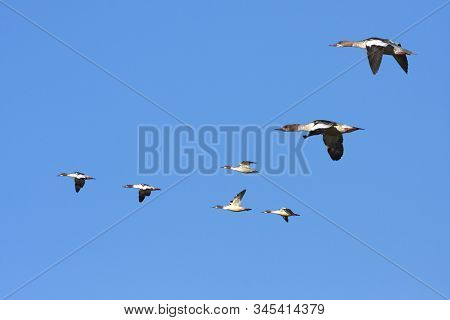 A Flock Of Goosanders In The Sky. Sunshine And Blue Bright Sky.