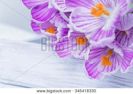 Spring Delicate Flowers Purple Colored, Bouquet Of Crocuses On Wooden Table. Natural Flowery Backgro