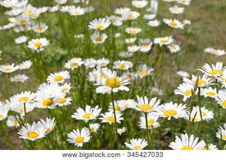 Blooming Daisies In Meadow. Oxeye Daisy, Leucanthemum Vulgare, Daisies, Common Daisy, Dog Daisy, Moo