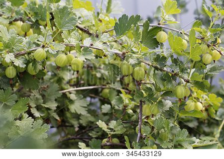Fresh Green Gooseberries. Green Berries Close-up On A Gooseberry Branch. Young Gooseberries In The O