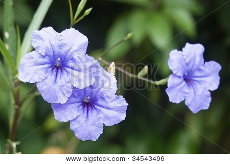 Blue Pitunia Flowers