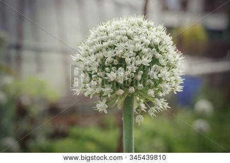 Flowering Planted Home-grown Onions (allium Cepa). White Onion Flower. Common Onion Plantation At Sp