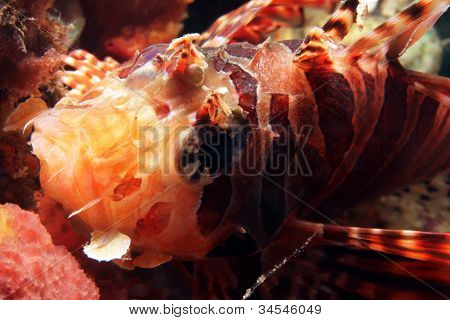 Close-up of a Common Lionfish (Pterois Volitans) Lembeh Strait Indonesia poster