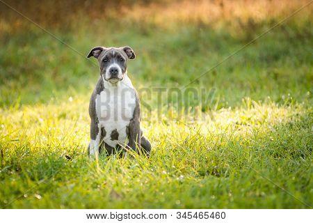 Puppy Staffordshire Terrier Walks In The Park In Autumn