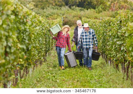 Harvest helpers team in the vineyard between vines while harvesting in autumn