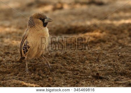 The Sociable Weaver (philetairus Socius), Also Known As The Common Social Weaver, Common Social-weav