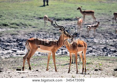 A Small Group Of Impala In Chobe National Park