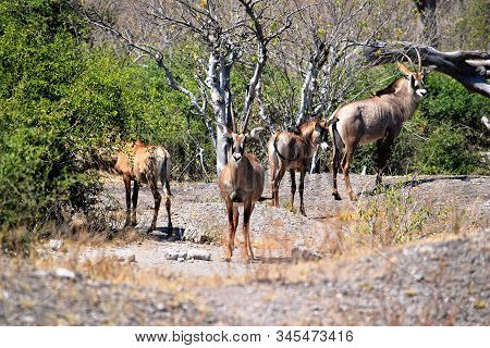 A Small Group Of Roan Antelops In Chobe National Park